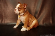 Rare Color Mini French English Bulldog Blue Lilac Chocolate Puppies Tampa FL