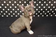 Rare Color Mini French English Bulldog Blue Lilac Chocolate Puppies Tampa FL