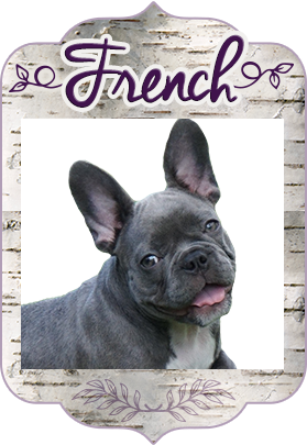 Rare Color Mini French Bulldog Blue Lilac Chocolate Puppies Tampa FL