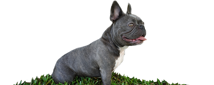 Violet is a blue brindle and white mini French Bulldog