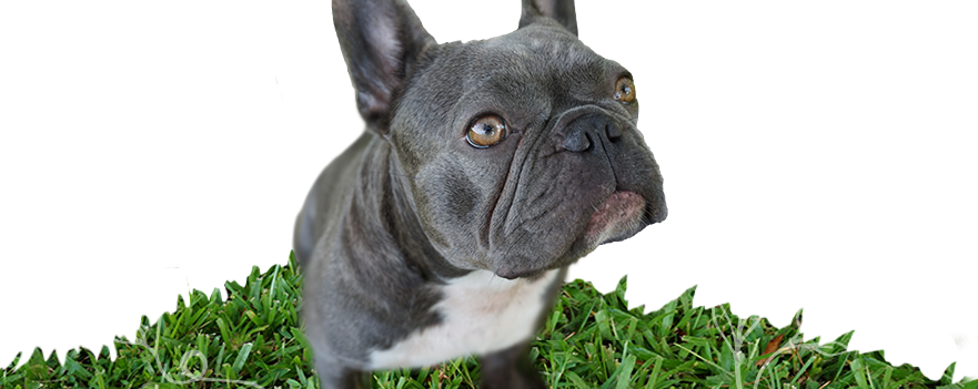 Violet the Blue and white brindle rare mini French Bulldog