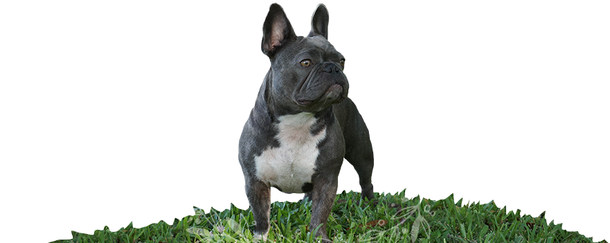 Violette the Blue and White Mini French Bulldog